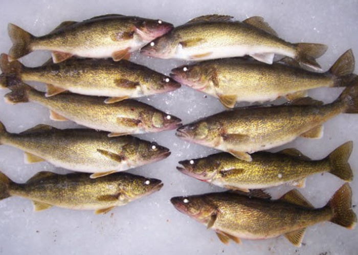 ice fishing for walleyes in sturgeon bay